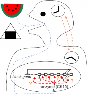 Two Ck1δ transcripts regulated by m6A methylation code for two antagonistic kinases in the control of the circadian clock thumbnail
