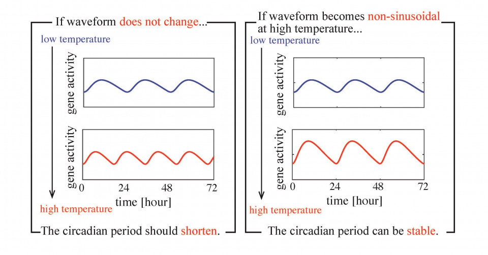 Non-sinusoidal Waveform in Temperature-Compensated Circadian Oscillations image